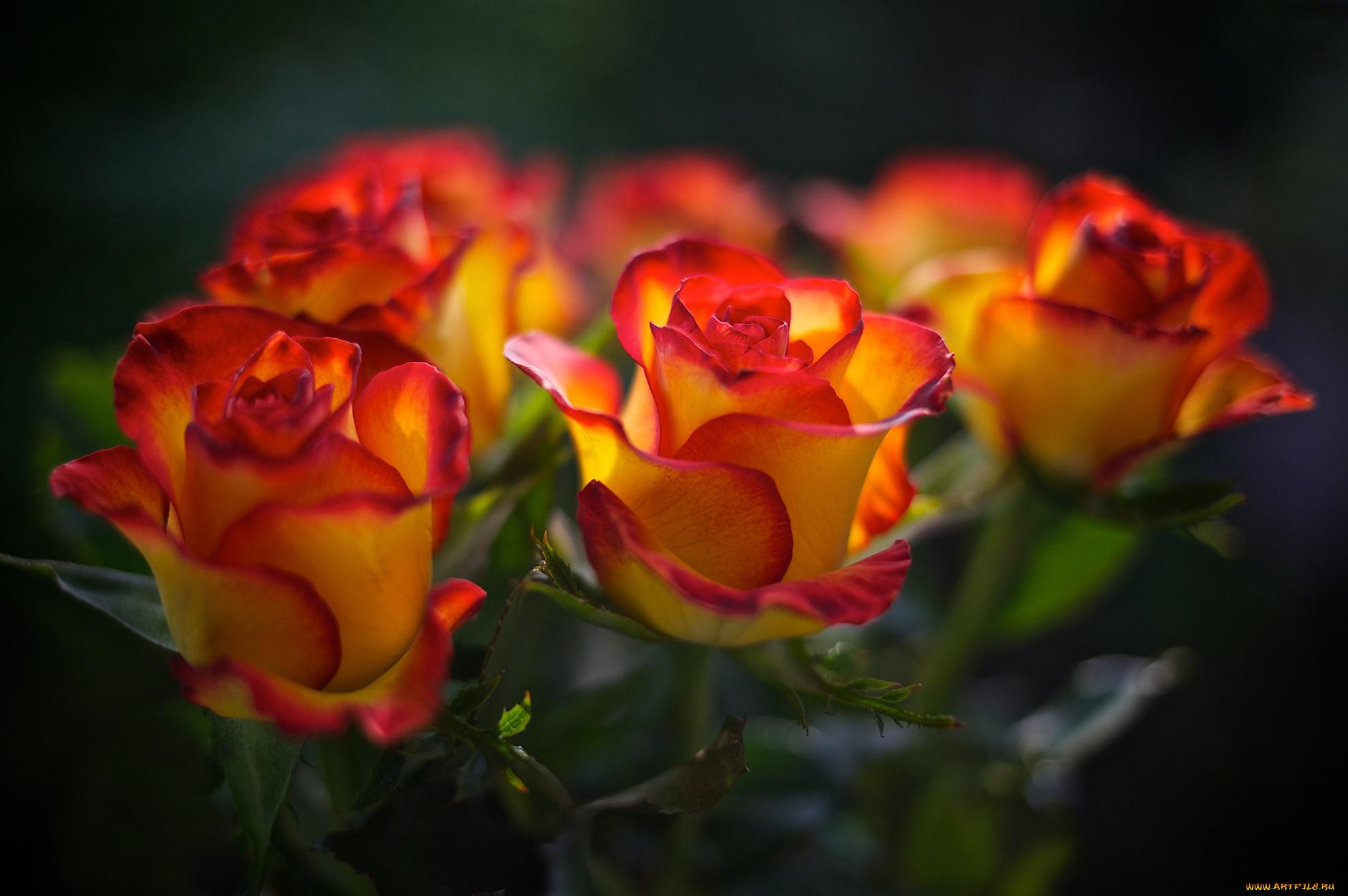 Картинки желто оранжевые розы
